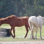 馬とシマウマ!どちらが速いの?~ハーフのゾース(Zorse)とは?